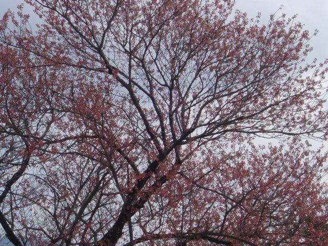 「緋桜」はもう満開