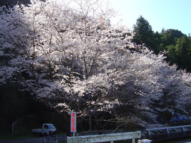 竜馬が見た満開の桜縮小版