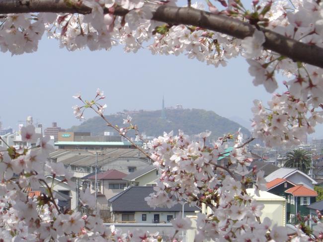 お城下の桜縮小