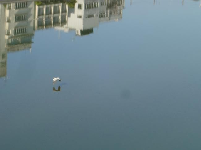 肱川の白鷺縮小