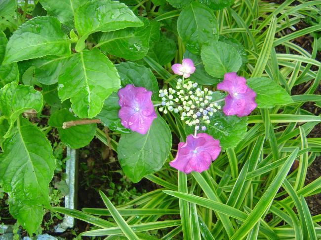 紫陽花5縮小