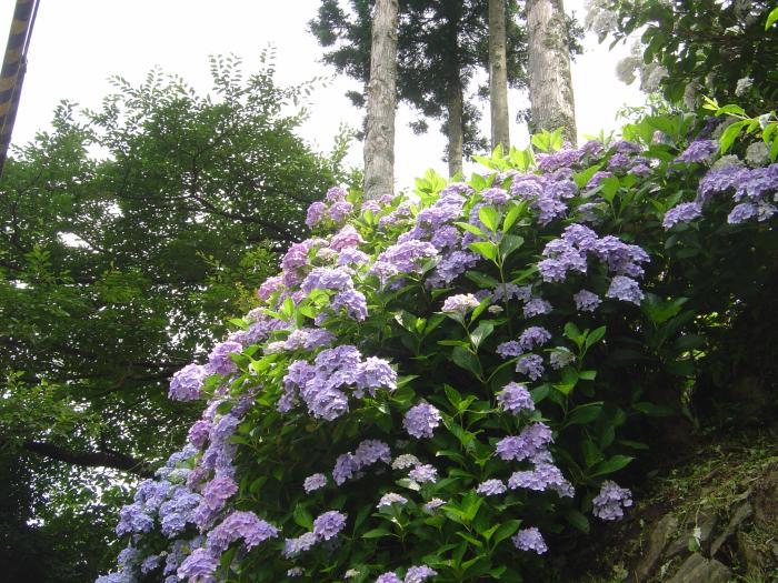 青い紫陽花2縮小