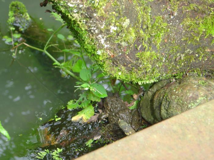 カエル1縮小