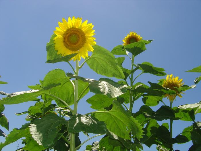 向日葵4縮小