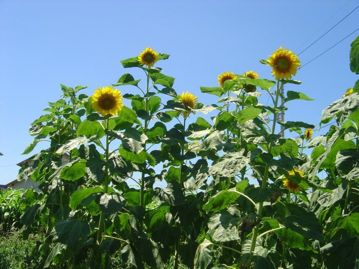 向日葵2縮小