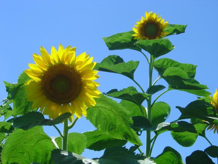 向日葵3縮小