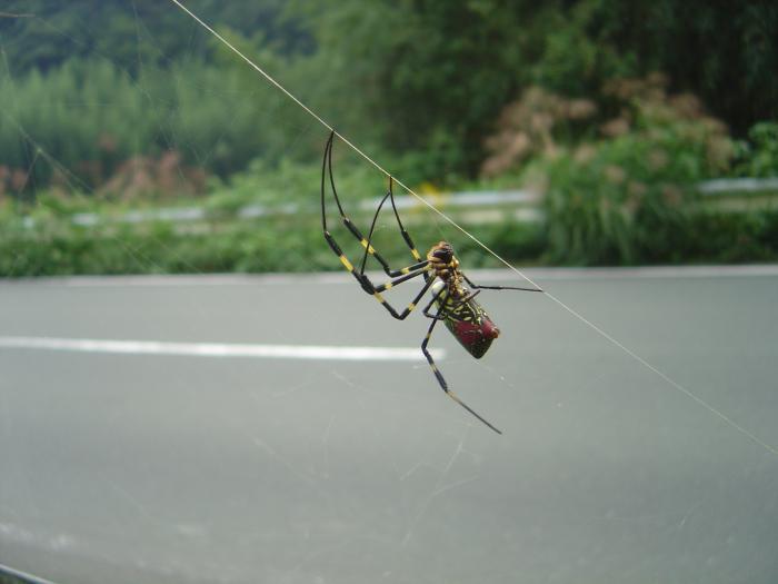 蜘蛛6縮小