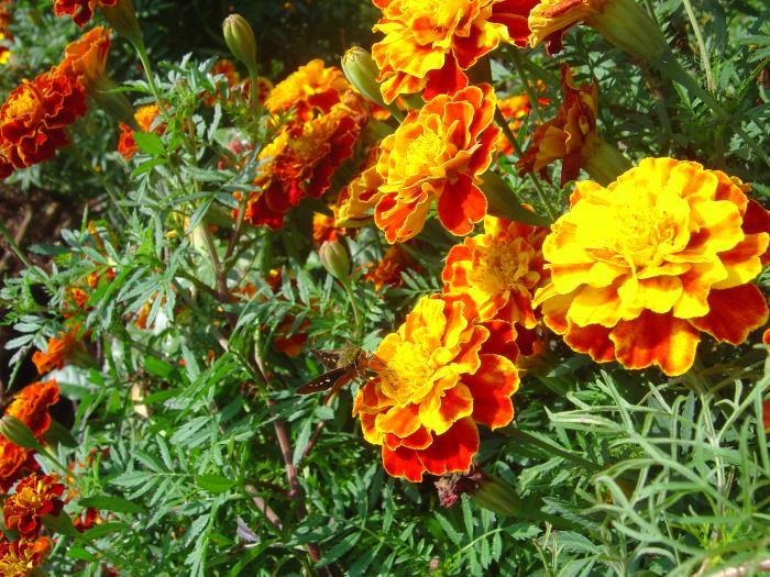 金盞花と蝶縮小