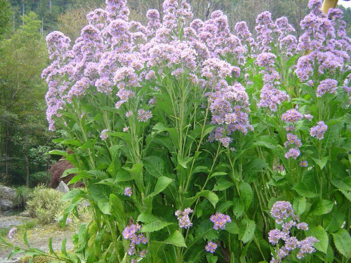 紫野草縮小