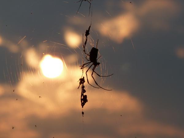 蜘蛛7縮小