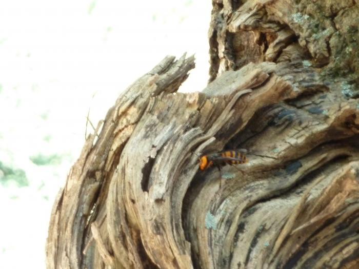 スズメバチ危機1縮小