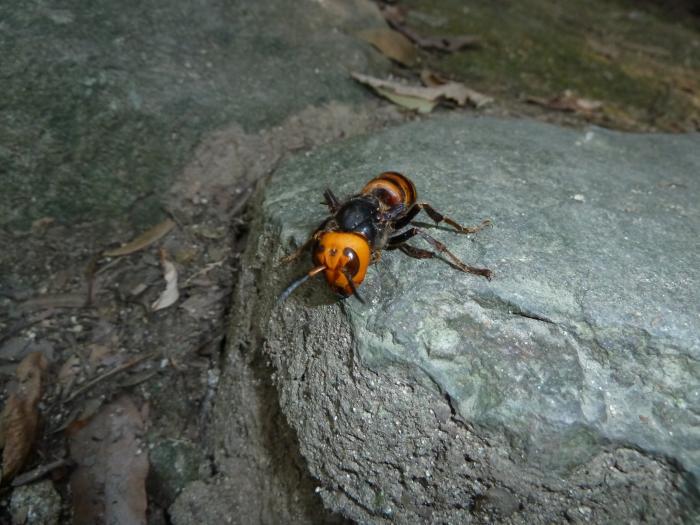 スズメバチ頭縮小
