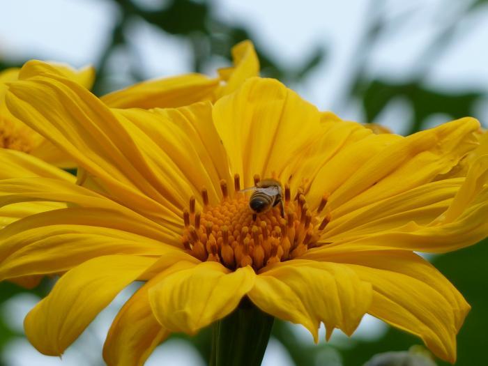 巨大ヒマワリガリバーとミツバチ縮小