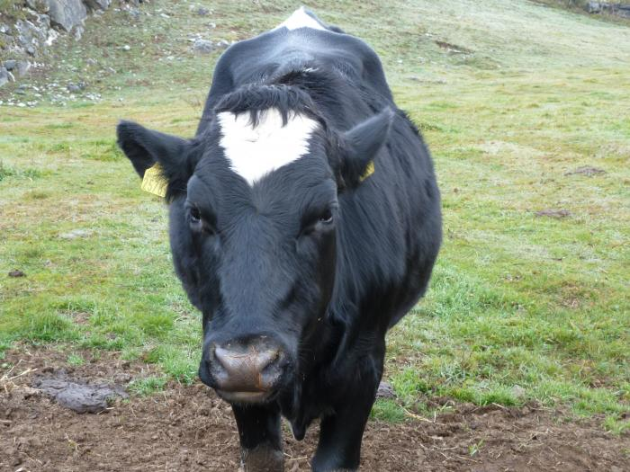 牛正面アップ5縮小