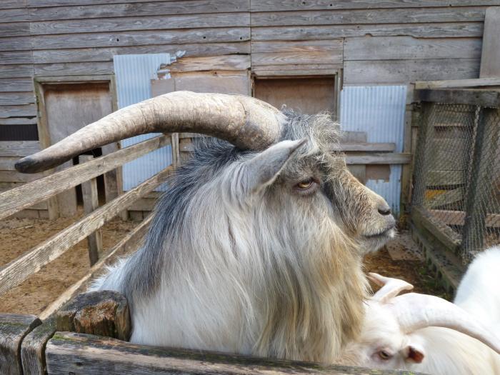 大角羊2縮小