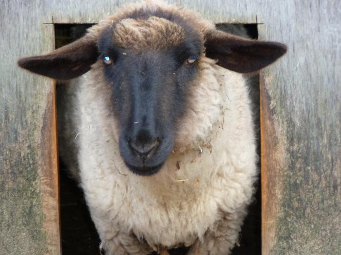 黒羊5縮小