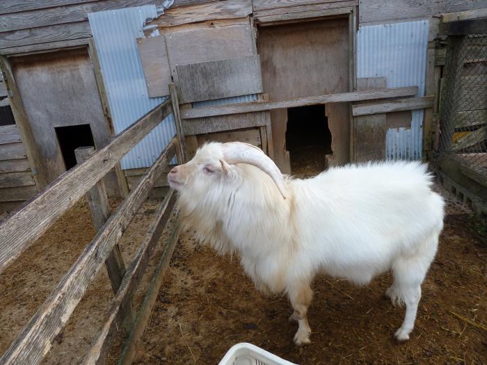 大白角羊5縮小