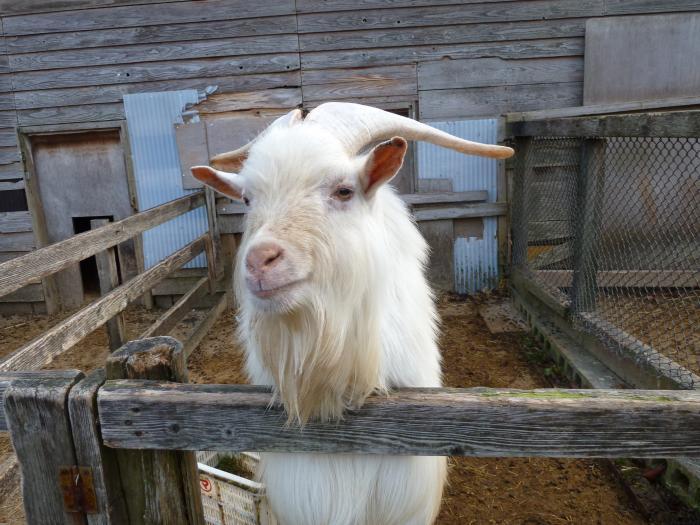 大白角羊縮小