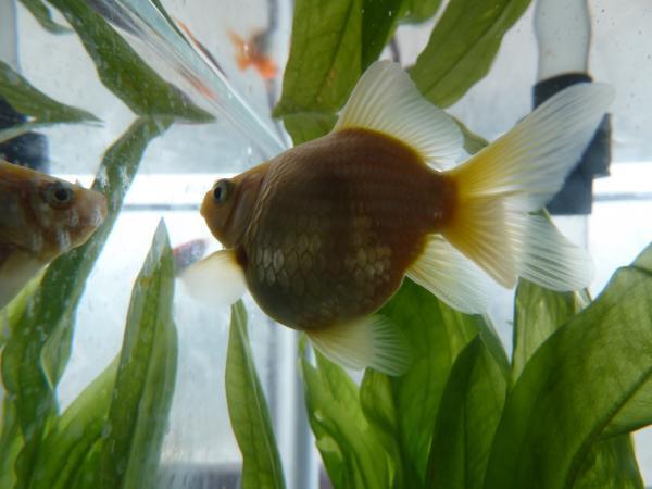 金魚1縮小