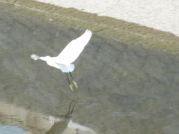 白鷺飛翔縮小