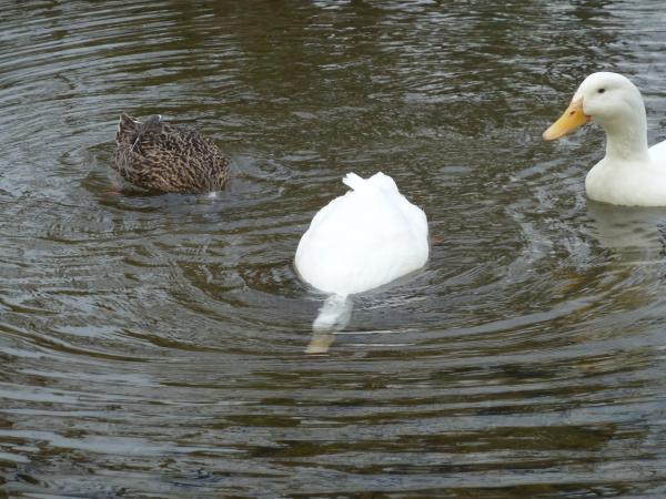 鴨と白鳥4