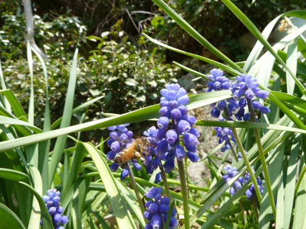 ムスカリ蜜蜂4