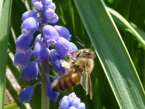 ミツバチ6