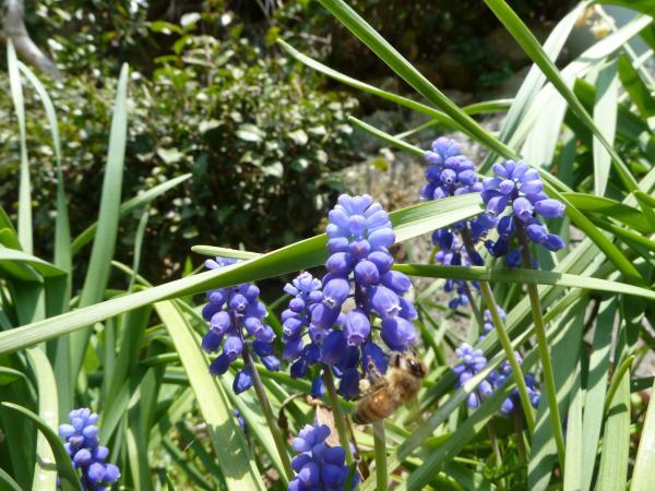 ムスカリ蜜蜂5