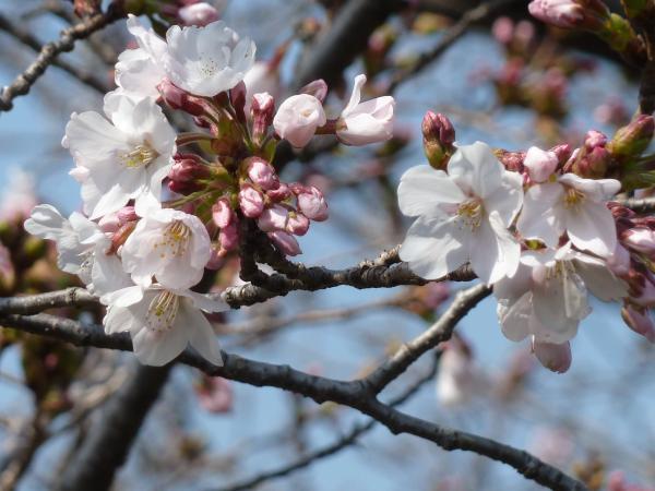 桜アップ5