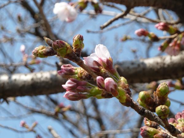 桜つぼみ4