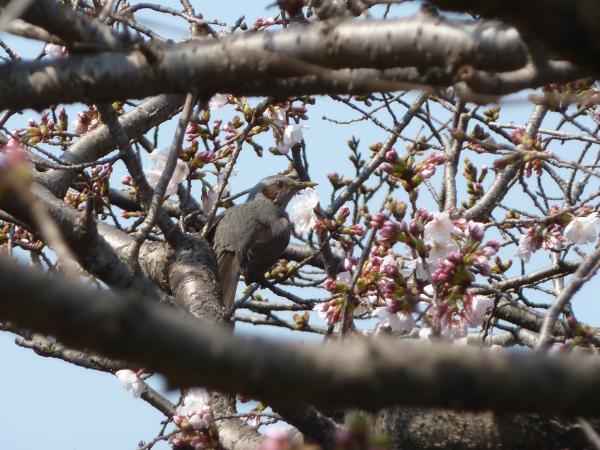 桜にモズ6