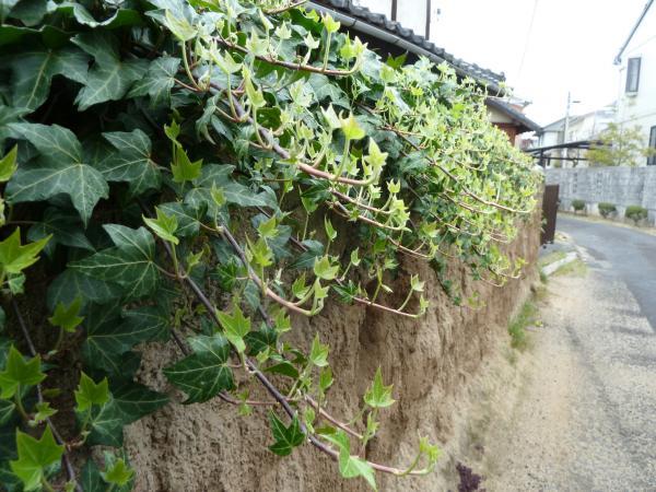 蔦と土塀3