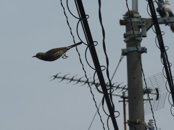 ヒヨドリと飛翔6