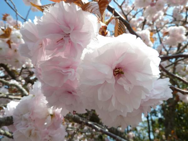 八重桜アップ6