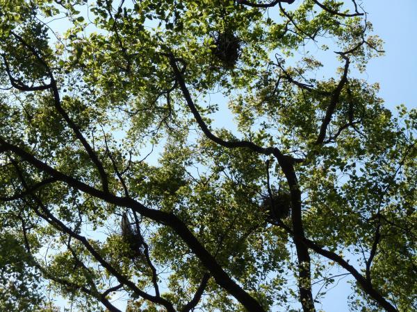 アオサギ巣1