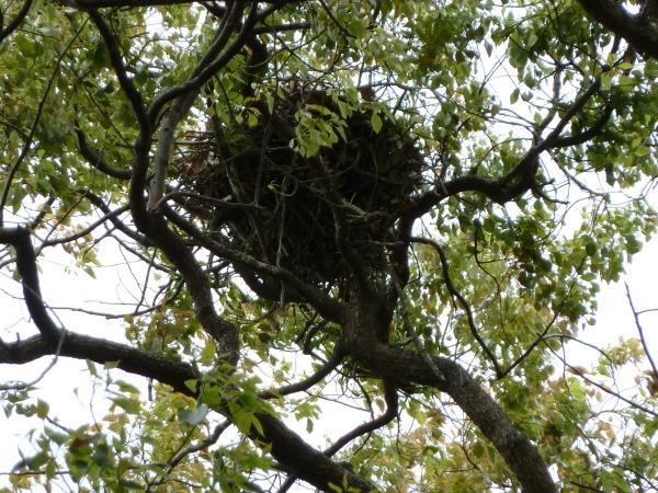 アオサギ巣2