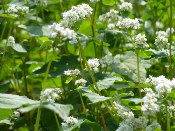 蕎麦の花6