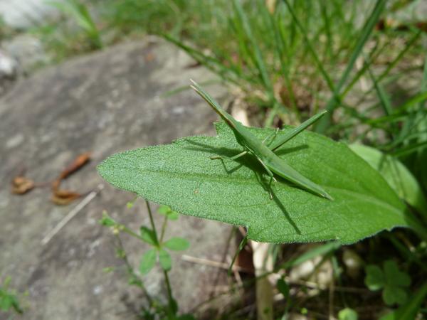 緑バッタ6