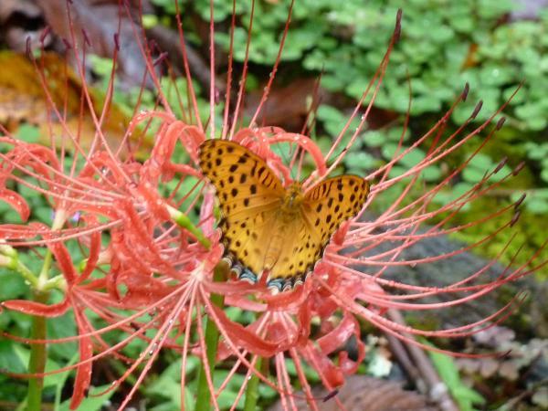 蝶とヒガンバナ2