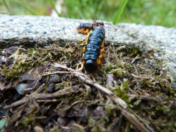 芋虫と蟻5