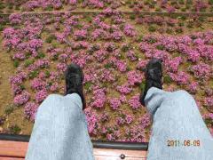 6.9芝桜 008