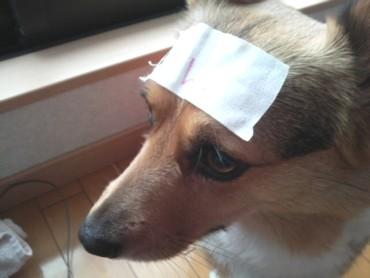 犬の発熱には冷えピタは無意味です