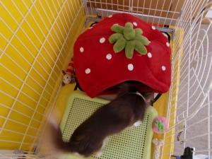 苺のベット