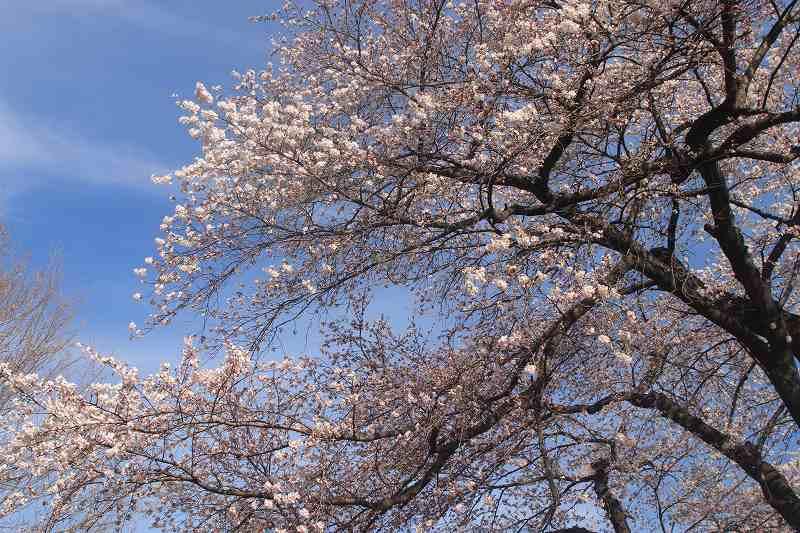 sakura_0039.jpg