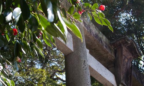 八幡宮の椿