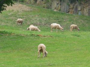 イングランドの丘 羊
