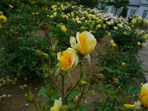 イングランドの丘 バラ
