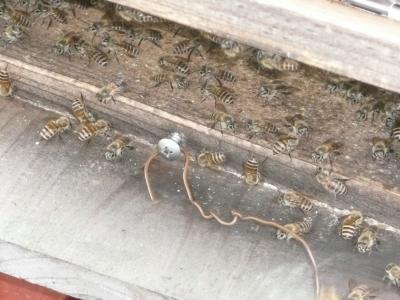 日本ミツバチ見学?