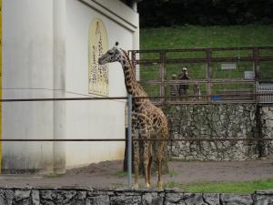 日本平動物園-キリン-