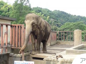 日本平動物園-ゾウ-